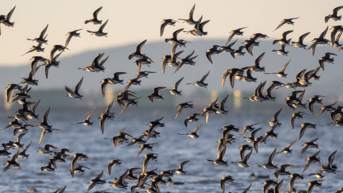 Dunlin by Eric Hall