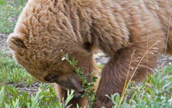 County Commissioners Hired Far Right Group to Help Thwart Grizzly Restoration